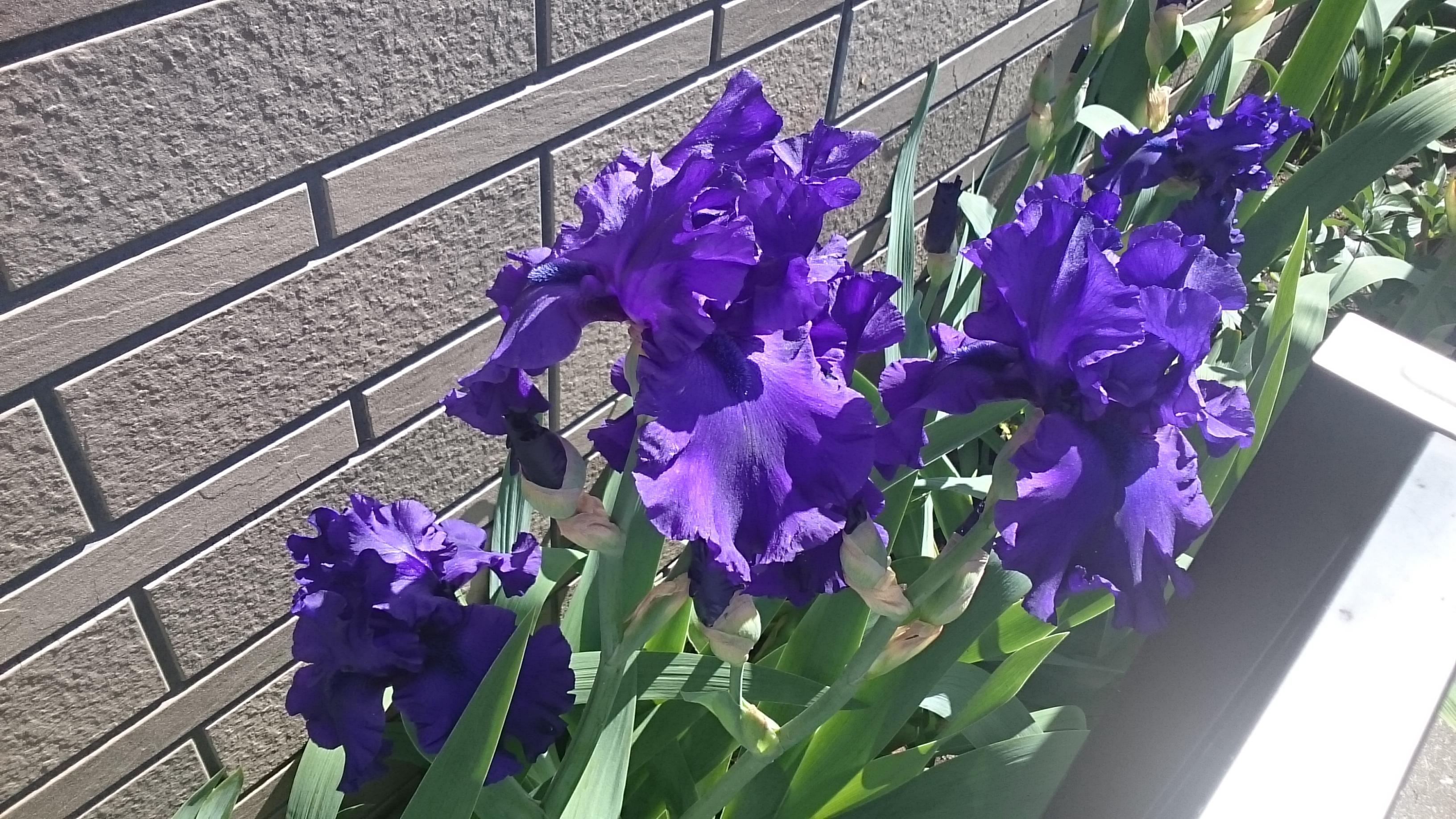 千壽堂のジャーマンアイリスが今年も咲きました